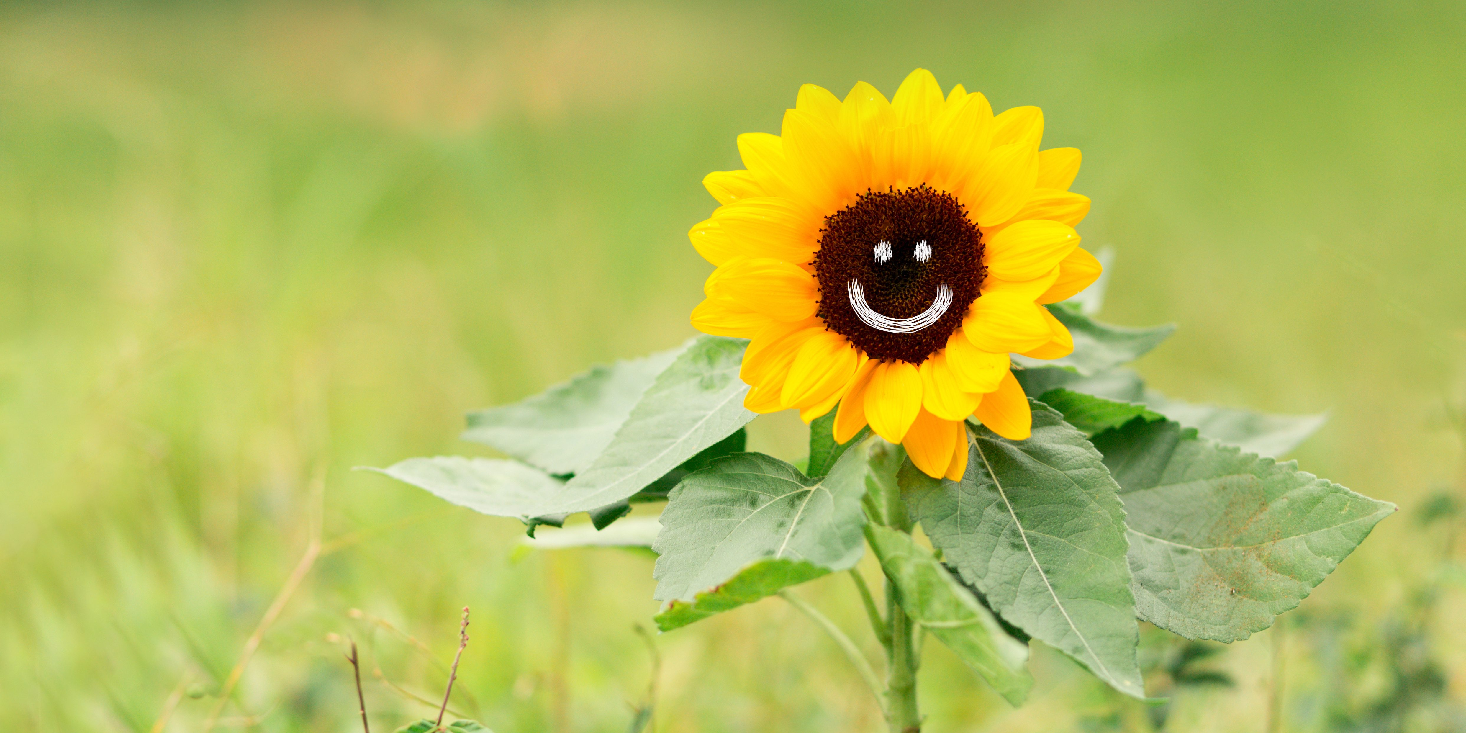 Picture shows sunflower with smiling face